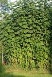 Jerusalem artichoke plant Stock Images