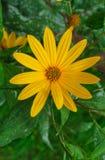 Jerusalem artichoke plant and very beautiful yellow flowers royalty free stock photography