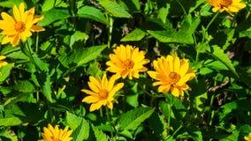 Jerusalem Artichoke, Sunroot, Topinambour, Earth Apple or Helianthus tuberosus yellow flower close-up, selective focus royalty free stock photo