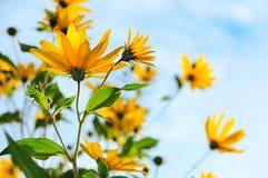 The Jerusalem artichoke or topinambur flowers royalty free stock images