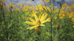 Jerusalem artichoke yellow flower growing in the field stock video