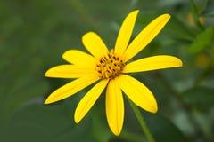 Jerusalem artichoke. Yellow  flowers Royalty Free Stock Image
