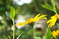 Jerusalem artichoke. Yellow  flowers Stock Photography