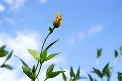 Jerusalem artichoke. Yellow topinambur flowers Royalty Free Stock Image