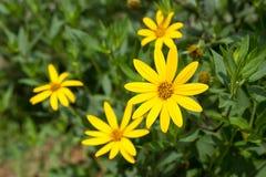 Jerusalem artichoke. Yellow topinambur flowers Royalty Free Stock Photography