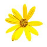 Jerusalem artichoke. Yellow topinambur flowers Stock Image