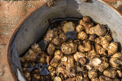 Jerusalem artichokes stored in vintage zinc bucket. Spring Preparing the garden the last of the winters supply of Jerusalem artichokes are dug up and stored in a Royalty Free Stock Photo