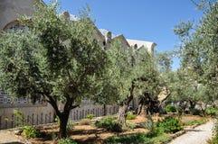 Garden of Gethsemane in Jerusalem royalty free stock photo