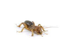 Jerusalem Cricket Royalty Free Stock Image