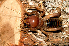 Jerusalem Cricket Royalty Free Stock Photos