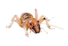 Jerusalem crickets are a group of large, flightless insects of t Royalty Free Stock Images