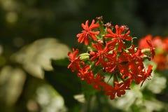 Jerusalem Cross (Lychnis chalcedonica). Jerusalem Cross (Lychnis chalcedonica) Bright Red Flowers With Soft Green Background Royalty Free Stock Images