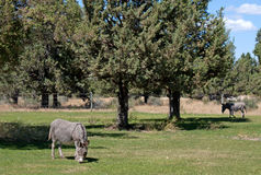 Jerusalem Donkeys Grazing On Green Grass. Gray Jerusalem donkeys grazing in a mountain pasture of green grass and trees under a blue sky Royalty Free Stock Image