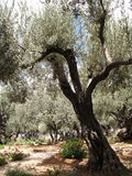 Jerusalem-Garden of Gethsemane Stock Photography
