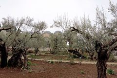 Jerusalem, Israel. - February 15.2017. Gethsemane garden. The place of Jesus Christ`s praying on the night of the arrest. Jerusalem, Israel. - February 15.2017 Stock Photos