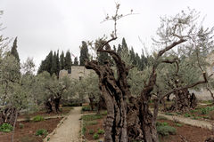 Jerusalem, Israel. - February 15.2017. Gethsemane garden. The place of Jesus Christ`s praying on the night of the arrest. Jerusalem, Israel. - February 15.2017 Royalty Free Stock Photography
