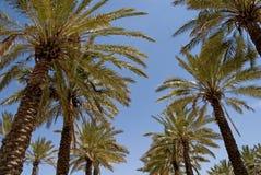 Jerusalem-Palmen stockbild