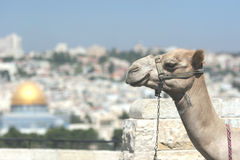 Jerusalem wielbłądów Zdjęcia Royalty Free