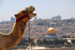 Jerusalem wielbłądów Obrazy Royalty Free