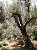 Jeruzalem-tuin van Gethsemane Stock Fotografie