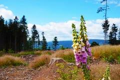 Jesenikybergen met bloemen Royalty-vrije Stock Foto's