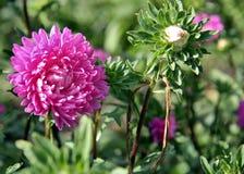 jesień łatwy karciany redaguje kwiaty wakacje modyfikuje Różowy Astra Obraz Stock