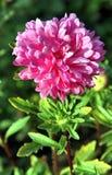 jesień łatwy karciany redaguje kwiaty wakacje modyfikuje Różowy Astra Fotografia Royalty Free