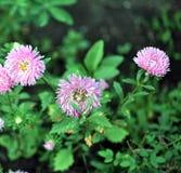 jesień łatwy karciany redaguje kwiaty wakacje modyfikuje Różowy Astra Zdjęcie Stock
