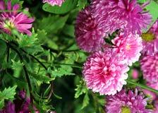 jesień łatwy karciany redaguje kwiaty wakacje modyfikuje Różowy Astra Obrazy Stock