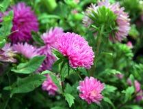 jesień łatwy karciany redaguje kwiaty wakacje modyfikuje Różowy Astra Fotografia Stock