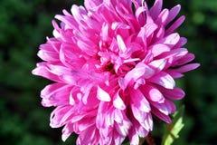 jesień łatwy karciany redaguje kwiaty wakacje modyfikuje Różowy Astra Zdjęcia Royalty Free