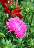 jesień łatwy karciany redaguje kwiaty wakacje modyfikuje Różowy Astra Zdjęcia Stock