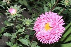 jesień łatwy karciany redaguje kwiaty wakacje modyfikuje Różowy Astra Obrazy Royalty Free
