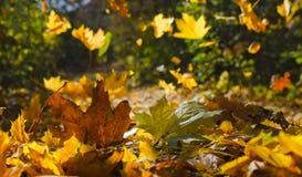 Jesień, żółci klonowi liście Zdjęcie Royalty Free