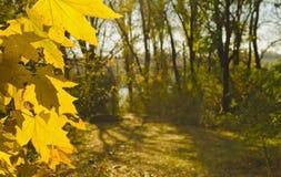 Jesień, żółci klonowi liście Obraz Royalty Free