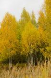 Jesień żółta, jesienny, drewna, ulistnienie, tło, botanika Obrazy Royalty Free
