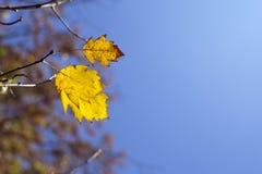 jesień żółte liście Obrazy Royalty Free