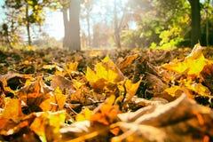 jesień żółte liście Zdjęcie Stock