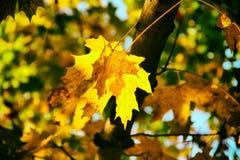 jesień żółte liście Zdjęcia Stock
