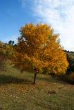 Jesień żółty drzewo Fotografia Royalty Free