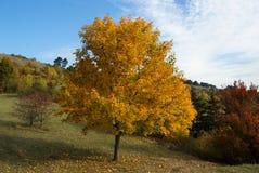 Jesień żółty drzewo Zdjęcie Stock