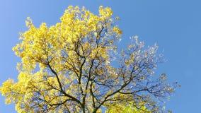 Jesień żółty drzewo zdjęcie wideo