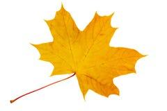 Jesień, żółty liść klonowy na białym tle. Zdjęcie Royalty Free