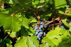 Jesień, żniwo czas Dojrzali winogrona wiesza na gałąź, zakończenie zdjęcia stock