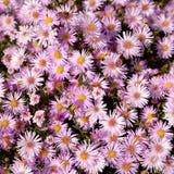 Jesień astery Zdjęcie Stock