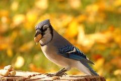 Jesień Błękitny Jay Zdjęcie Royalty Free