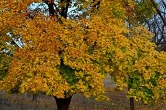 jesień błękitny kolorów zielony klonowy pomarańczowy kolor żółty Zdjęcie Royalty Free