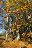 jesień bank colours niemieckiego Rhine rzeki drzewa kolor żółty Fotografia Stock