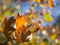 jesień barwił liść dębowych Zdjęcia Stock