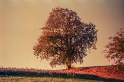 Jesień barwi i osamotniony drzewo w szwajcar wsi z analog fotografią i polach - 1 zdjęcia royalty free